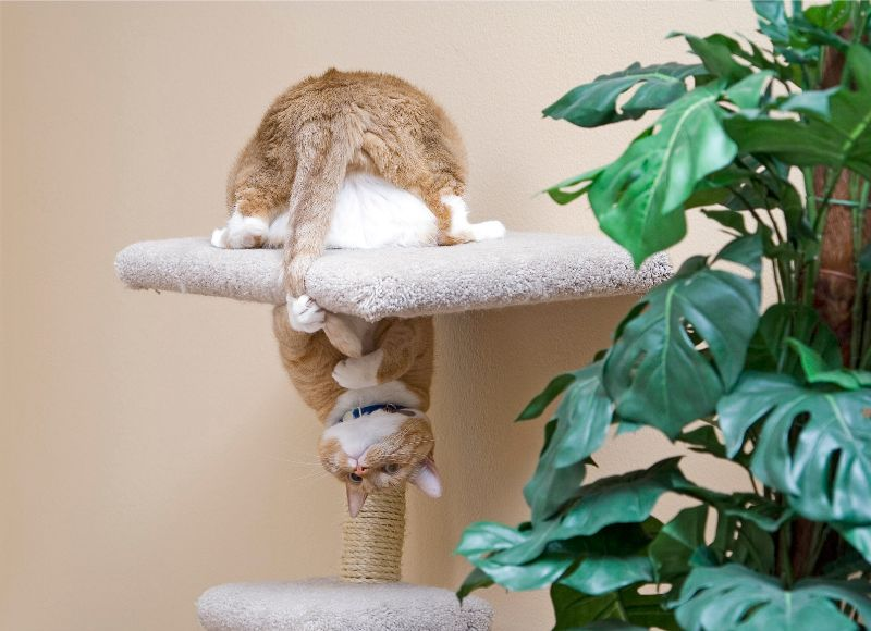 A cat is upside down in a cat tree, playing with its tail