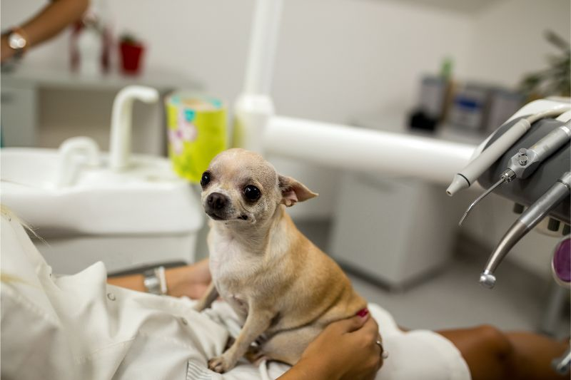A small dog at the vet for a cleaning