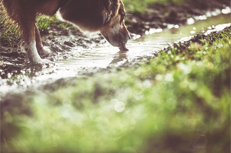 A dog drinking from a stream
