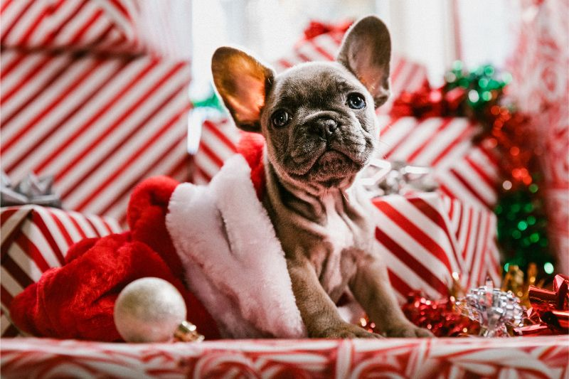 A Boston Terrier sitting amongst decorations