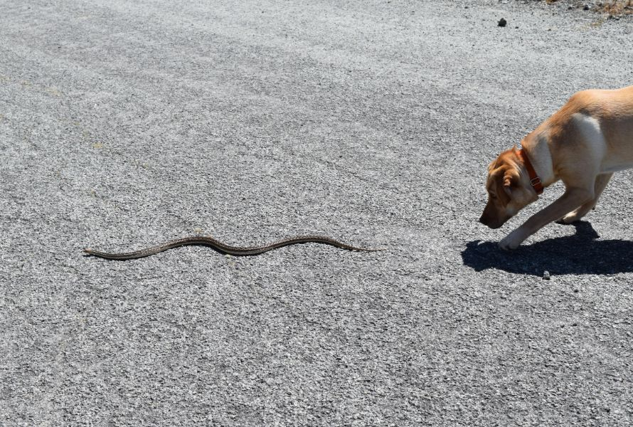A dog sniffing after a snake
