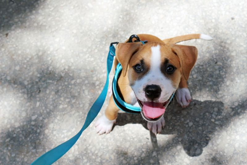 A puppy outdoors on a harness