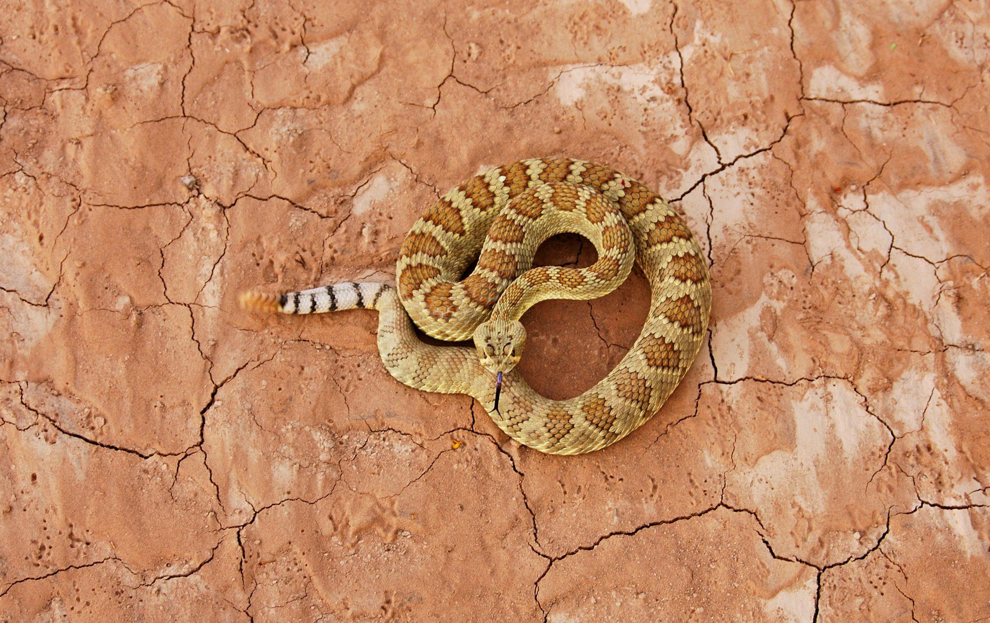 A rattlesnake.