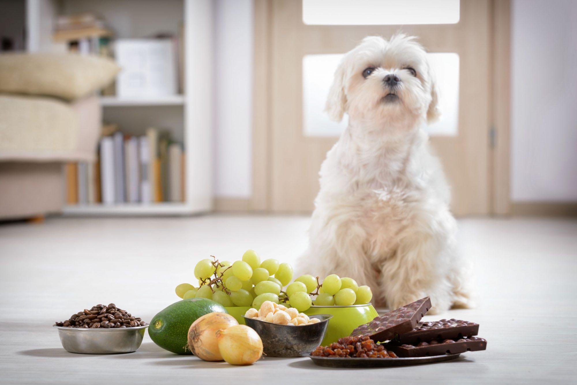 Sacramento CA dog sitting near toxic foods