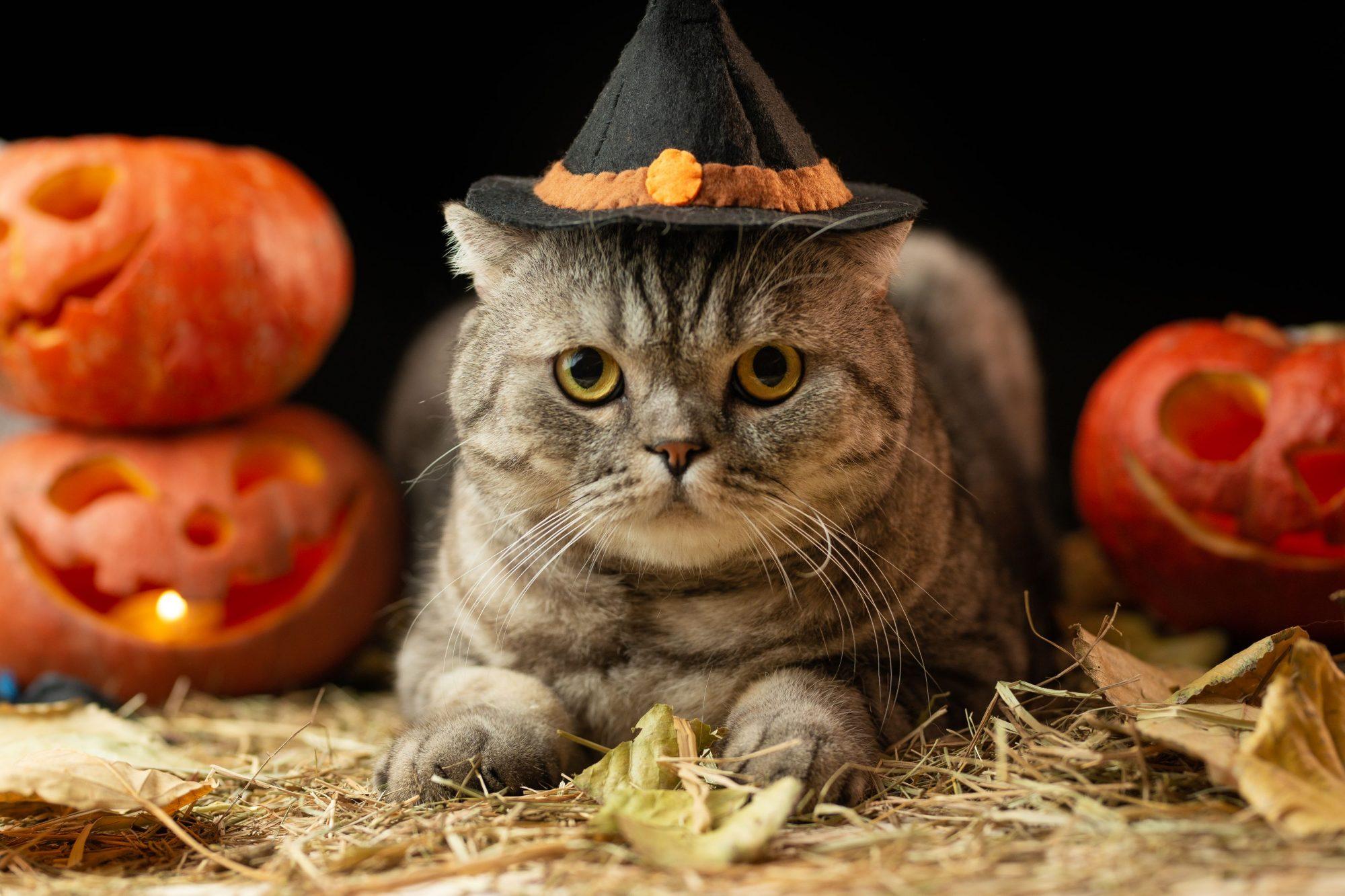 Sacramento cat at Halloween.